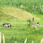 Geese (4)